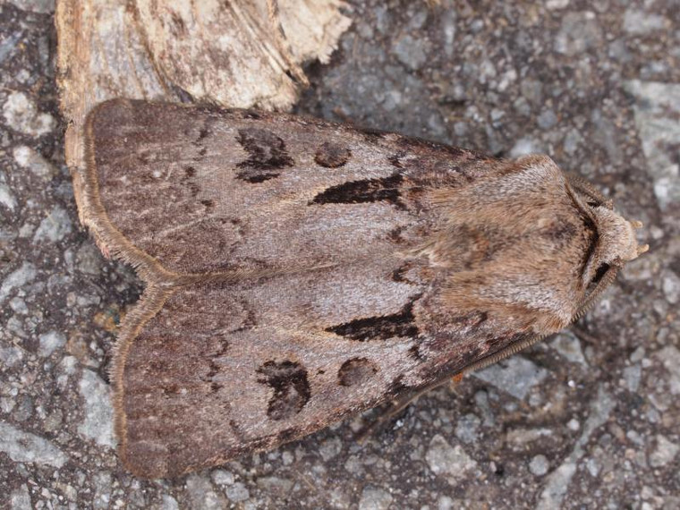 S_agrotis_exclamationis_informis_le